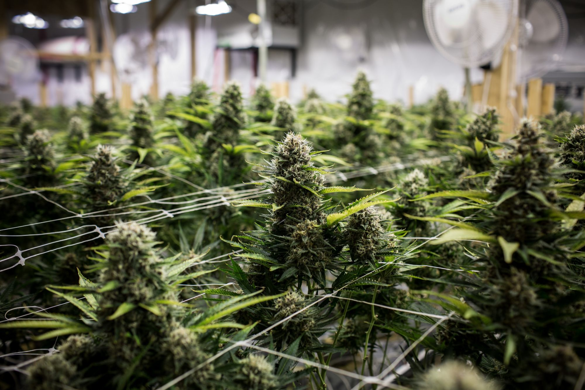 3 Key Steps to Securing a Marijuana Manufacturing License